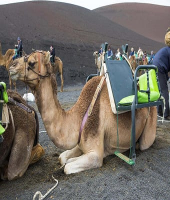 Camel Safari LNZ