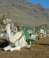 Camel Safari - La Baranda
