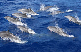 dolphins-gran-canaria-taxiboat