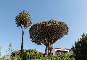 Drago-Milenario-en-Icod-de-los-Vinos-tenerife-icod-drago-tree-nature-today-vueltaisla-trip-holidays-summer